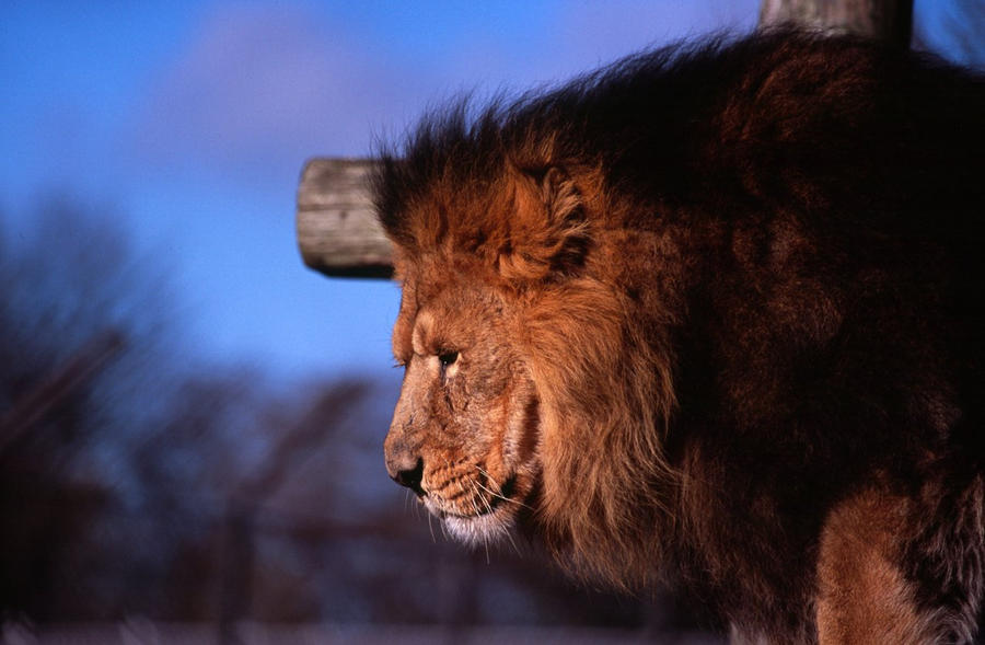 Lion - Chester Zoo 2009 by philpem