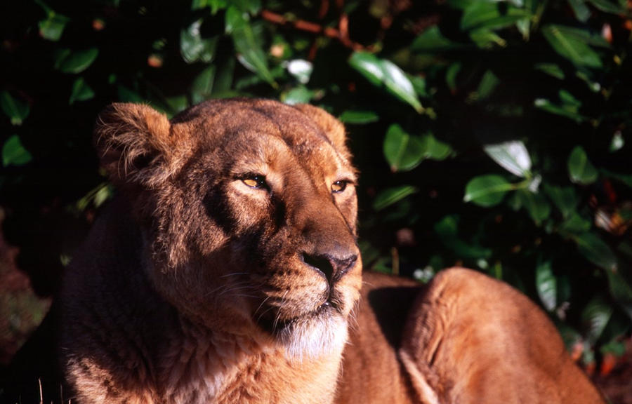 Lioness - Chester Zoo 2009 by philpem