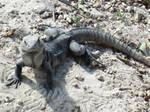 Belligerent Iguana
