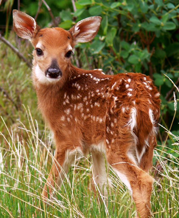 baby whitetail fawn in - photo #7