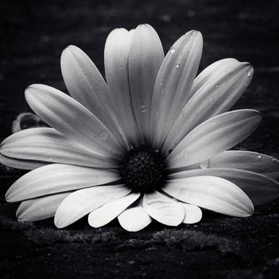 White Osteospermum by sourcow