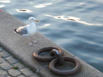 Danish seagull by Argussov