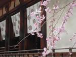 Blossoms at Horyuji