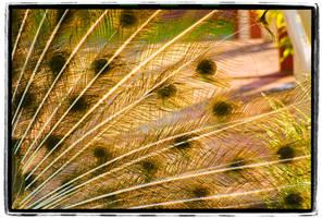 Peafowl Plumage by mastermayhem