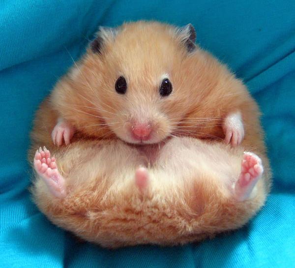 Chmurka, my famous hamster