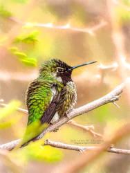 Male Anna's Hummigbird