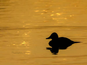 Duck In Water At Sunset