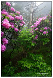 Fog, Rhodies and old Tree by TRBPhotographyLLC