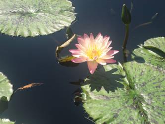 Longwood Gardens Waterlily by KateMB19