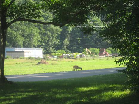 Renovo Deer