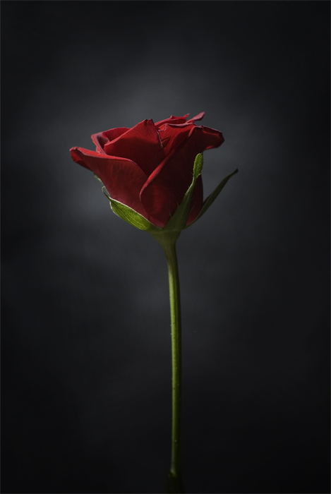 Red Rose by HeresyPreacher