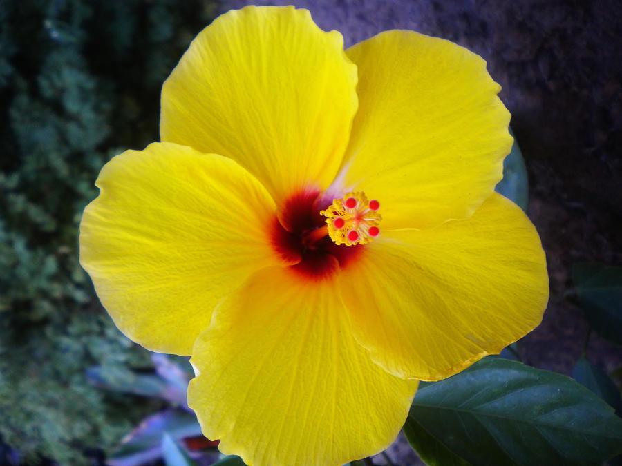 yellow hibiscus plant - photo #31