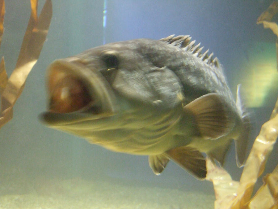 Spain 07 big mouth fish by auraguardianhadou on deviantart for Big mouth fish