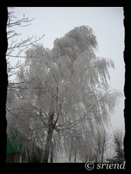 tree is coveredwith hoarfrost by sriend