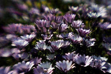 flower field by esracolak