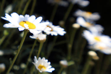 daisies by esracolak