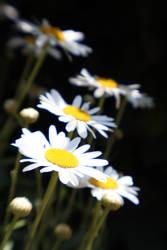 daisiesII by esracolak