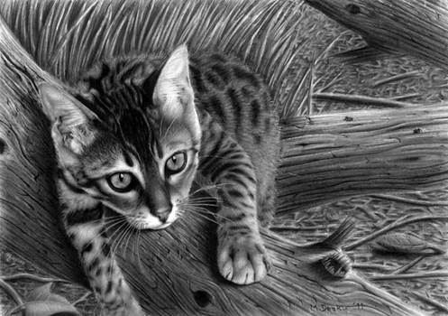 'Talek' cat drawing