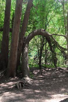 Crooked Trees II