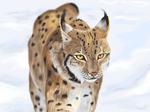 Lynx - digital drawing