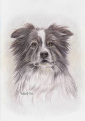 Border Collie portrait by Julia-R-Ch