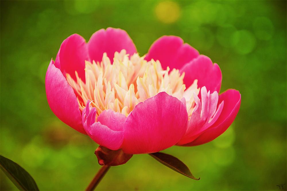Peony Blossom by Fabi-FR