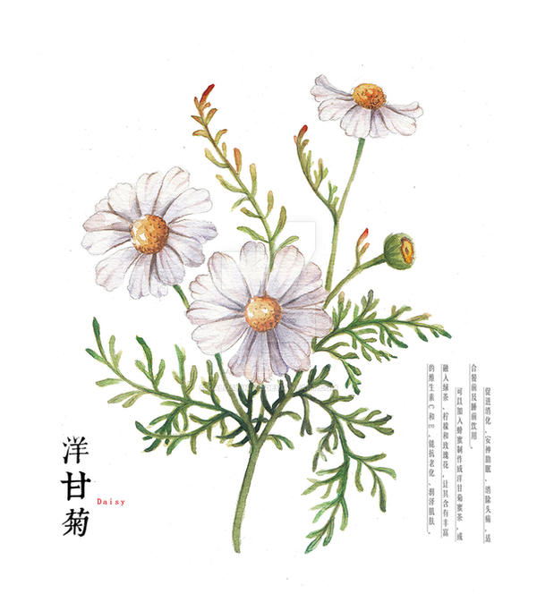 Hand Drawing Watercolor Plants Daisy By Galoshining On