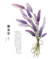 hand drawing watercolor plants--lavender by GaloShining