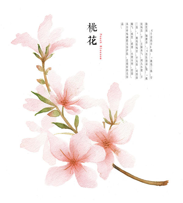 hand drawing watercolor plants--peach blossom by ...