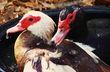 Muskovi Ducks