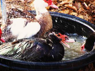 Muskovi Ducks 2
