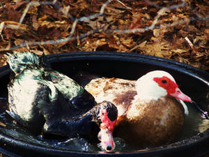 Muskovi Ducks 4