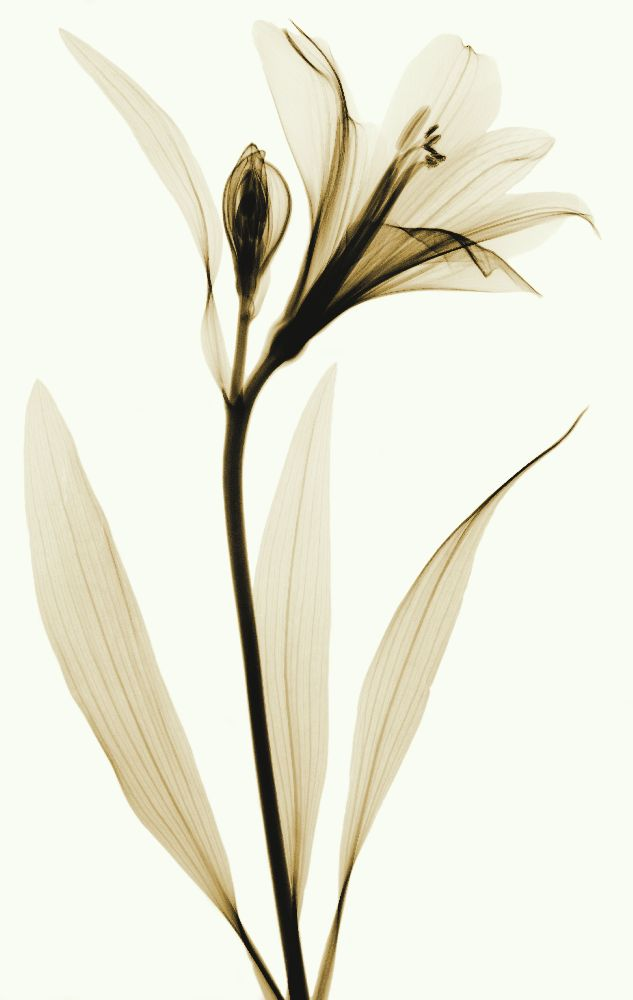 X-ray Lily and Bud 1 by coopr