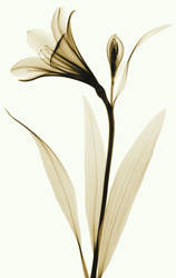 X-ray of Lily 2