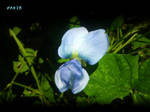 Winged Bean Flower