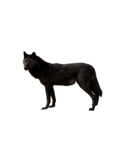 Black Wolf PNG