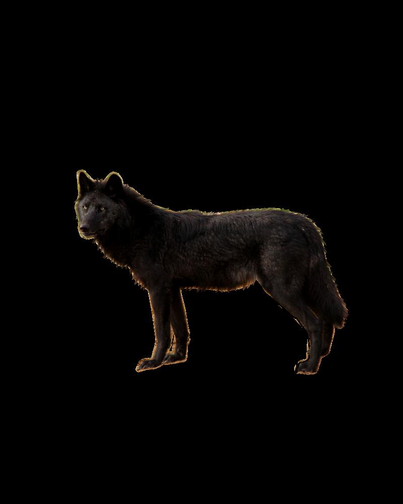 صور ذيب صور ذئاب سكرابز ذئاب صور ذيب مفرغة صور black_wolf_png_by_shadowedxlegacy-d56ir10.png