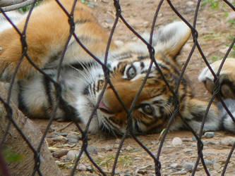Tiger Cub by InfuserGod