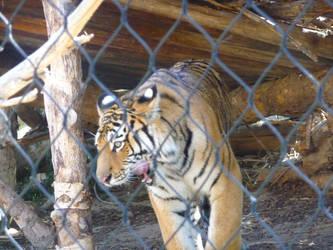 Amur Tiger by InfuserGod