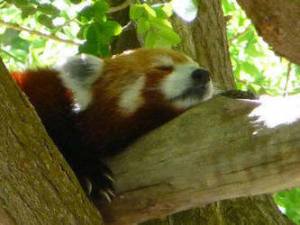 The Red Panda by InfuserGod