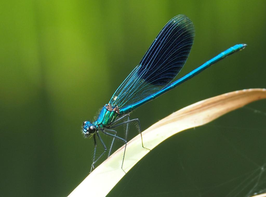 Dragonfly by RunaCorner