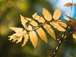Golden Leaf 4