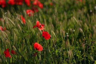 Poppys by szdora91