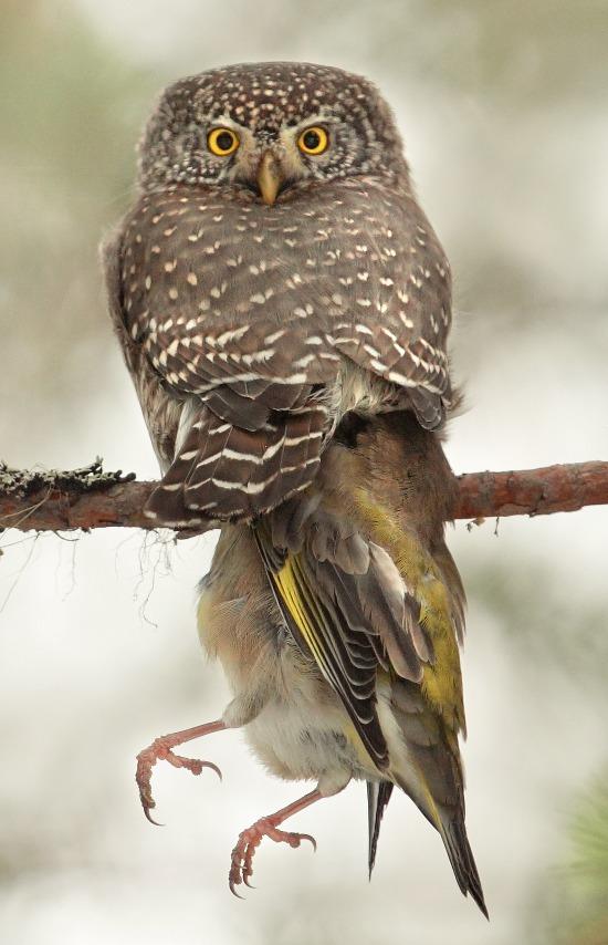Owl 1 - Siskin 0 by yfkar