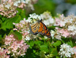 O Monarch, How Beautiful Are Thy Wings