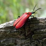 cardinal beetle by Takiako-Nakashi