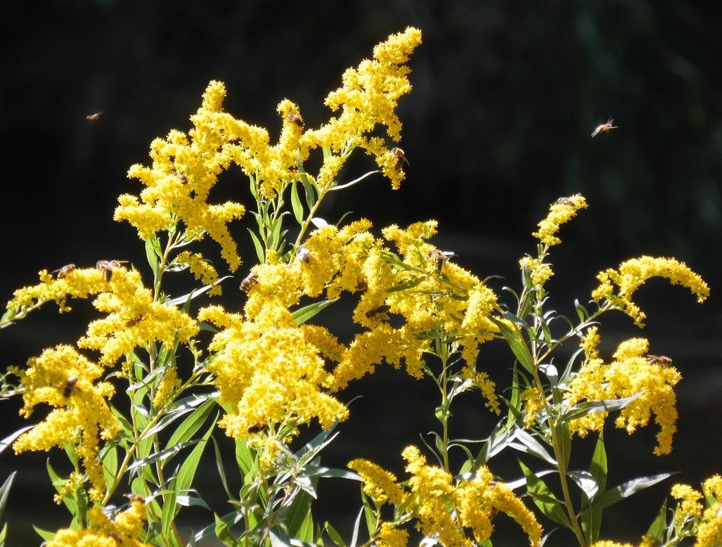 Canada goldenrod with bees by Takiako-Nakashi