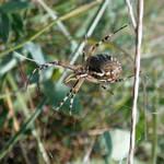 wasp spider - bottom