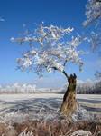 frozen black locust