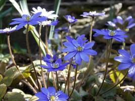 Blue flowers by Takiako-Nakashi